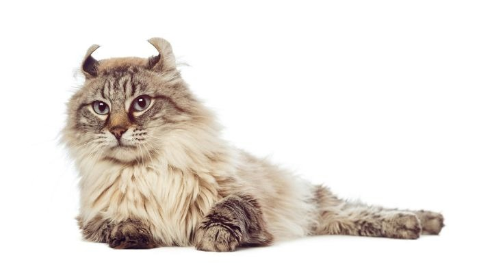 Американский керл - кошка с загнутыми назад ушами