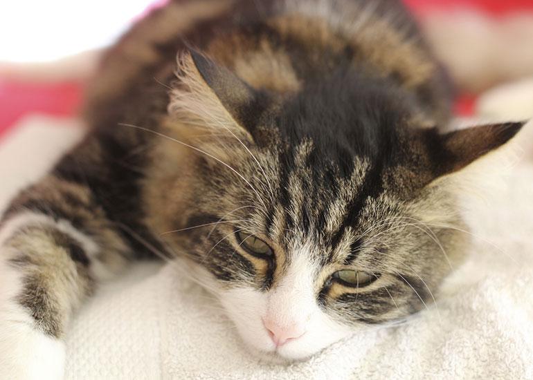 Как и чем лечить конъюнктивит у кошек