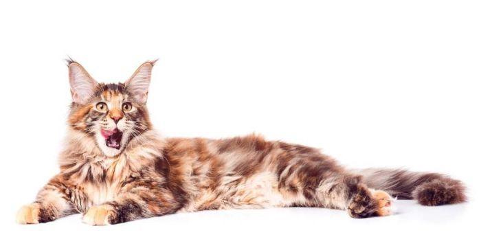 Лечение эпилепсии у кошек, как прекратить приступы