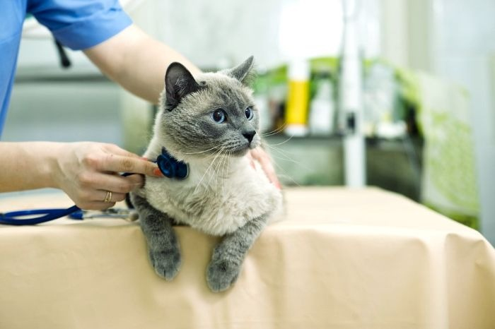 Почечная недостаточность у кошек - симптомы, лечение хронической почечной недостаточности у кошек (ХПН)