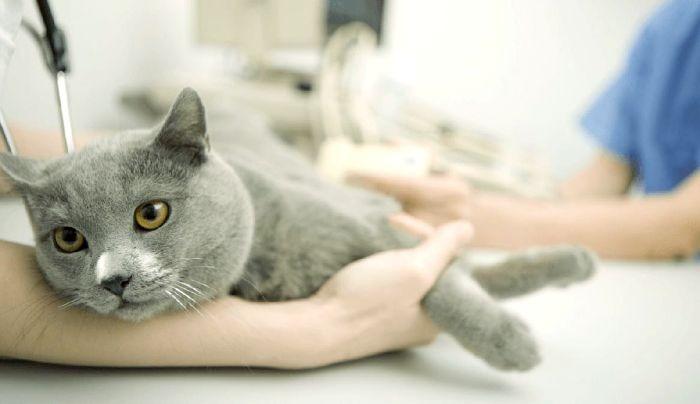 Хроническая почечная недостаточность у кошек препараты