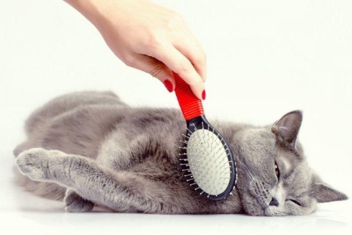 Как и когда делать прививку от бешенства кошке