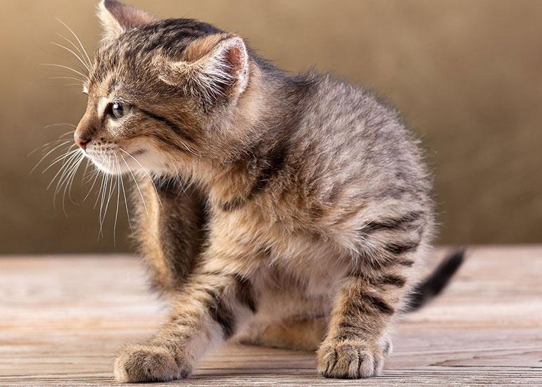 Блохи-у-котенка