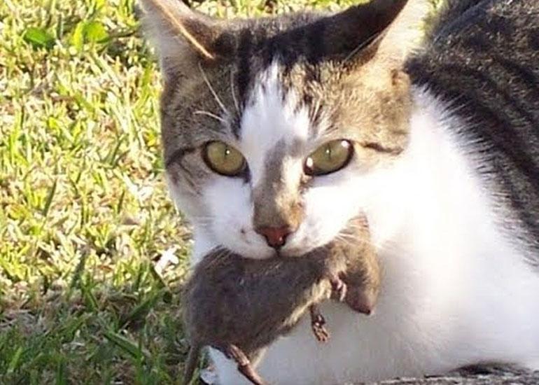 Кот несет добычу