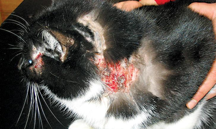 Блошиный дерматит у кошек: симптомы и лечение