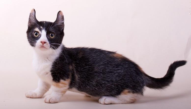 Топ-10 самых маленьких пород кошек