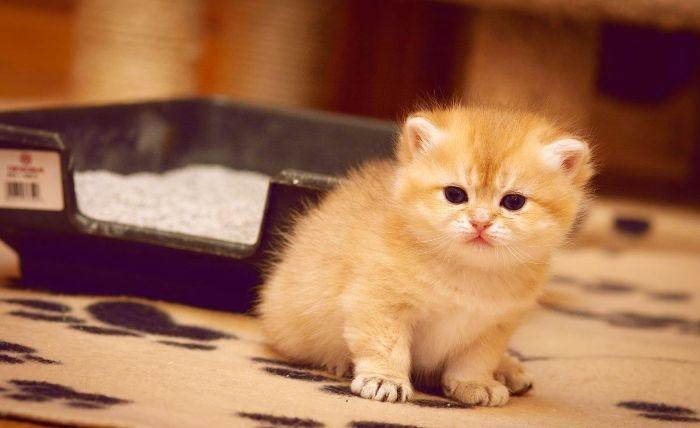 Почему кастрированный кот метит в квартире