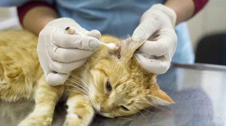 Как почистить уши кошке в домашних условиях
