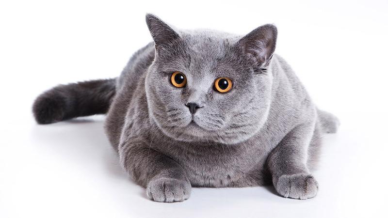 Сколько живут британские кошки в домашних условиях