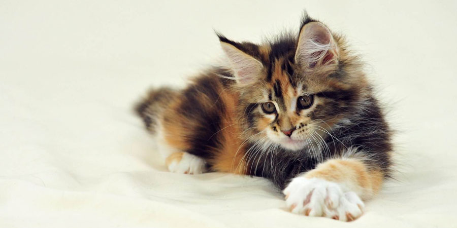 Как назвать котенка мейн куна мальчика и девочку