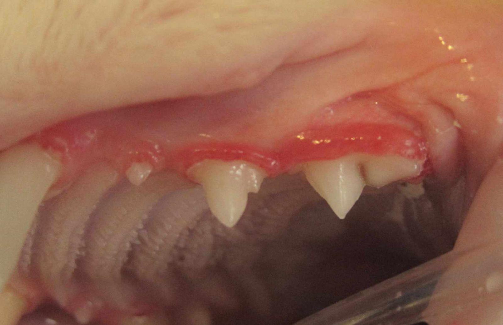 Когда у котят меняются зубы и причины выпадения зубов у взрослых кошек