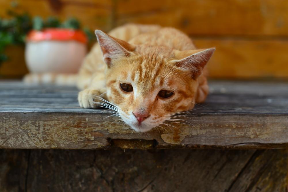 Лечение иммунодефицита у кошек диагностика симптомы лечение